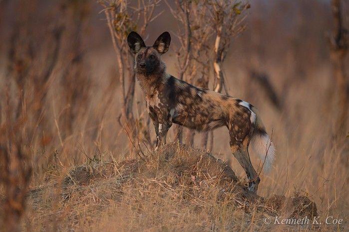 Wild dog in Hwange NP, Zimbabwe