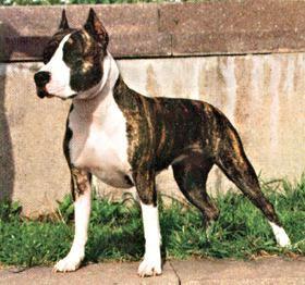 Американский стаффордширский терьер - породы собак