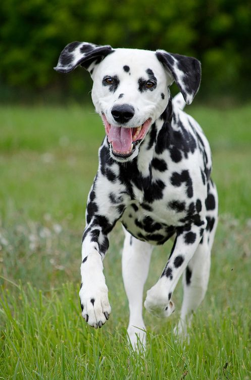The Dalmatian (Croatian: Dalmatinac, Dalmatiner) is a breed of dog whose roots trace back to Dalmatia (a region of Croatia) where the first illustrations of the dog have been found.