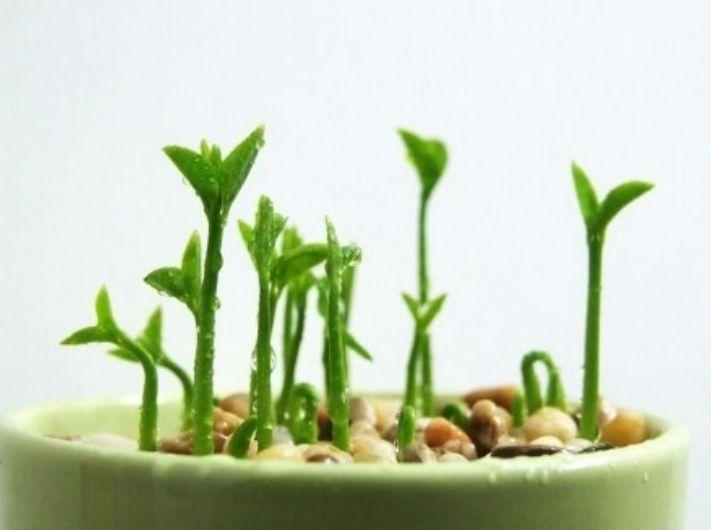 Grow a Houseplant from Lemon Seeds.