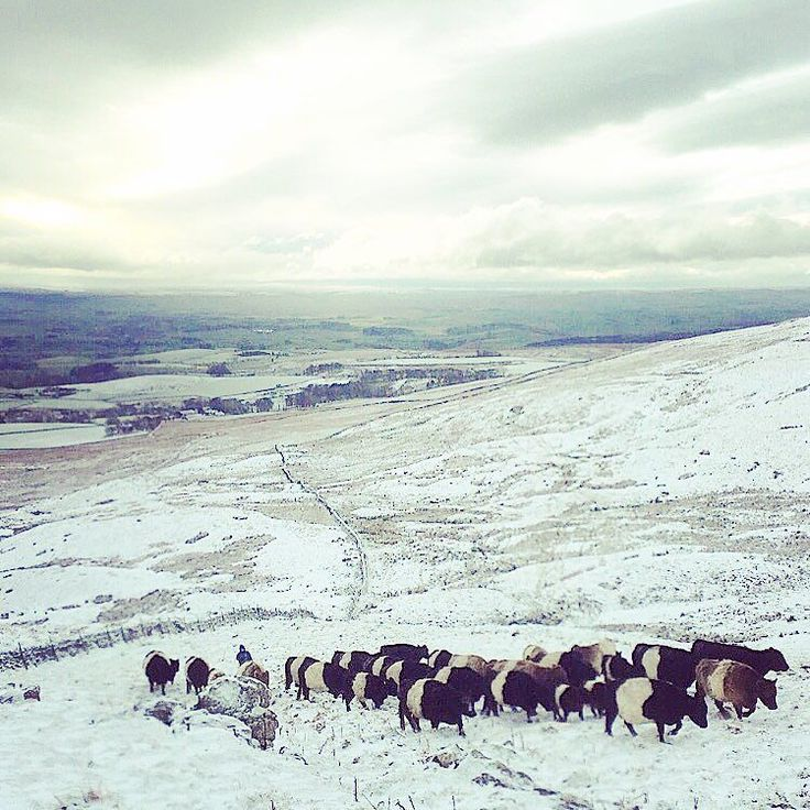 Cows heading up the hill - my favourite of all the cattle moving photos #malham #malhamdale #malhamtarn #yorkshiredales #cattle #beltedgalloways #belties #cows #hills #landscape #scenes_of_yorkshire #rural_love #ukpotd #snow #winter by hilltopfarmgirl