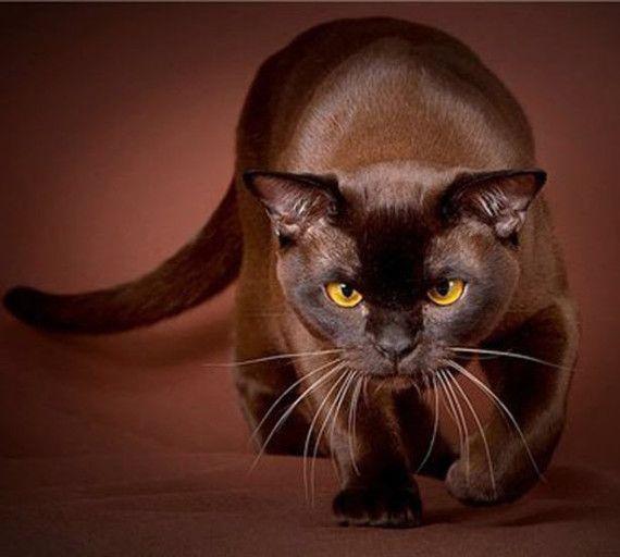 havan brown