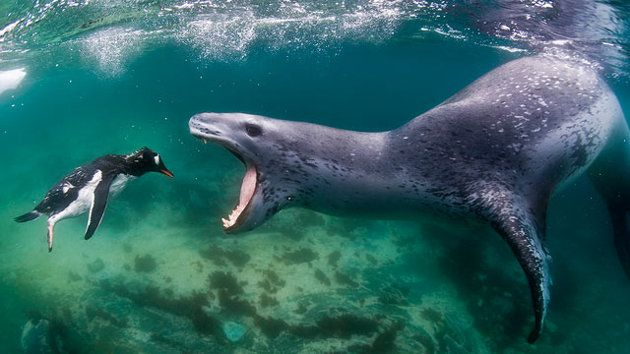 "A young penguin swam into the ""jaws of death"" of a leopard seal in Port Lockroy, on the Antarctic Peninsula, in this photo by underwater photographer Amos Nachoun."