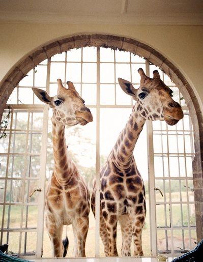 **Nothing beats a breakfast shared with curious giraffes!  :-)  ** Crush Cul de Sac