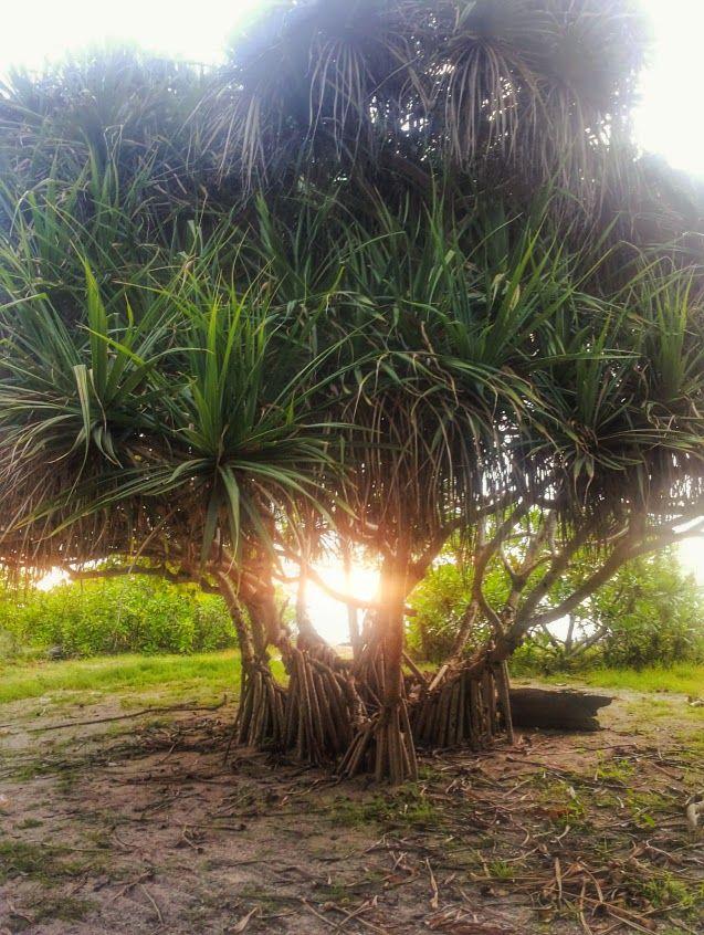 Tree of life, Gili Air, Lombok