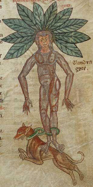 Mandrake.  British Library, Harley MS 1585,