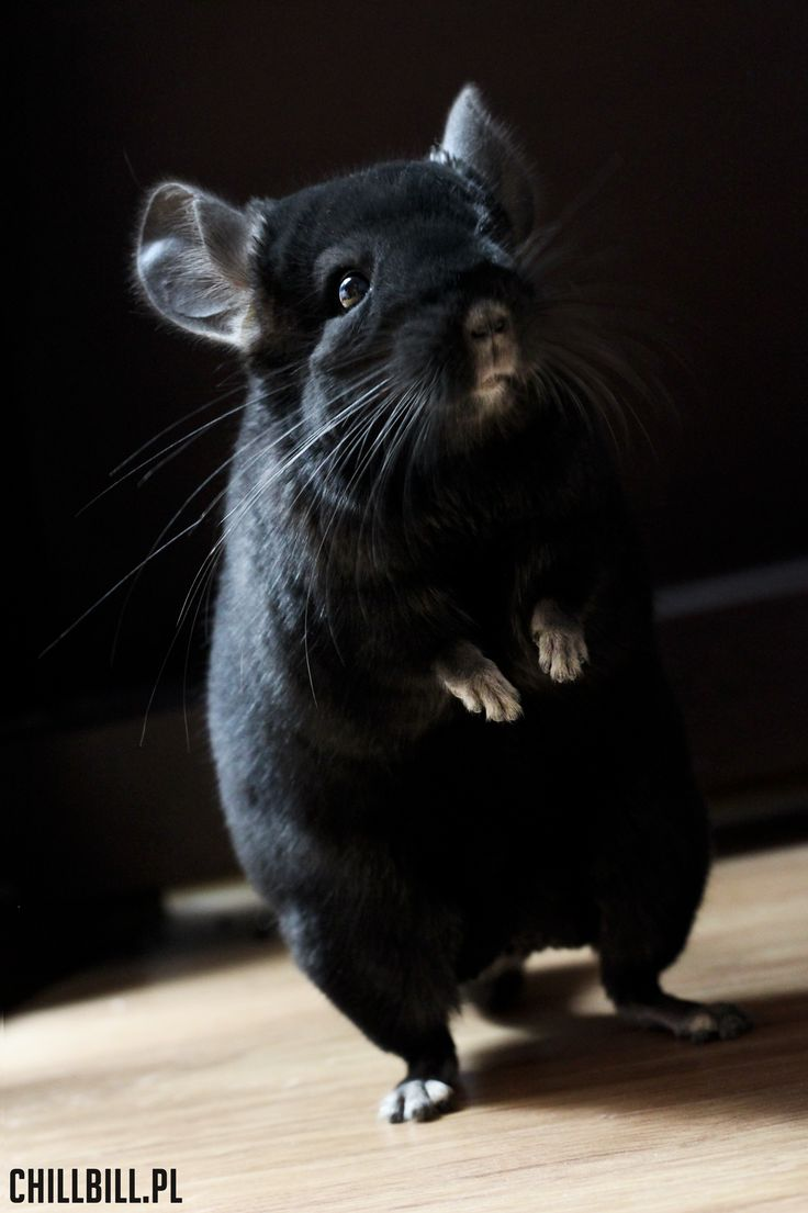 how to get your chinchilla to like you
