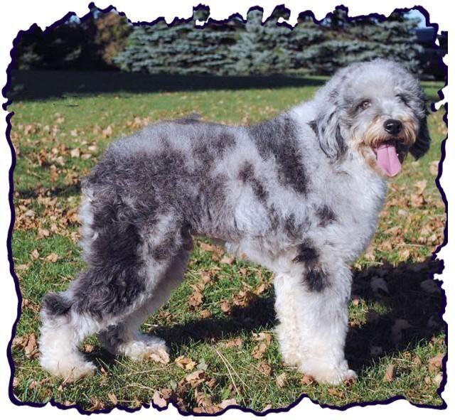 13 Best Tucker Poodle Images On Pinterest Poodles