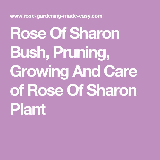 Rose Of Sharon Bush, Pruning, Growing And Care of Rose Of Sharon Plant