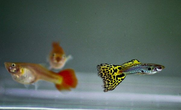Yellow Cobra Guppy Trio Guppy Aquarium Fish For Sale Fish For Sale