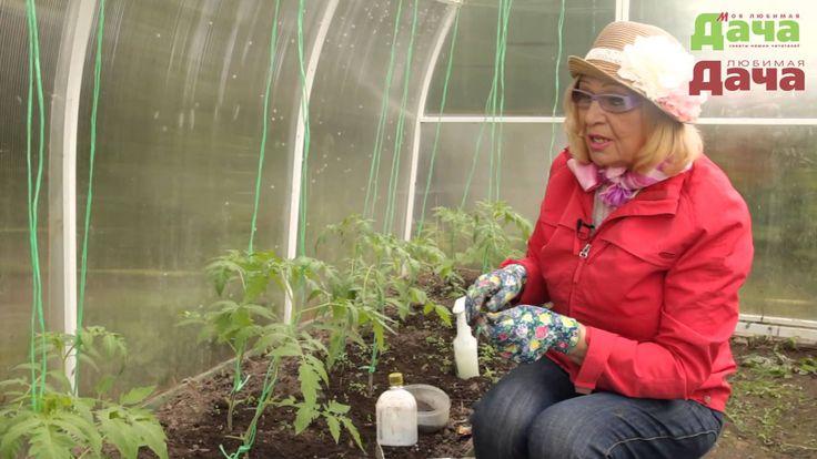 Как формировать стебель для обильного урожая помидор (томатов)