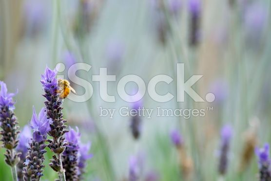 Lavender Flower with Worker Bee royalty-free stock photo