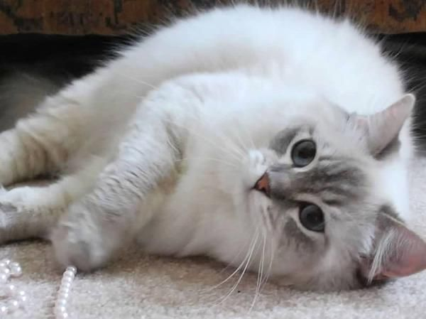 Ragdolls Ragdoll Essex Ontario Cats Kittens Southwestern