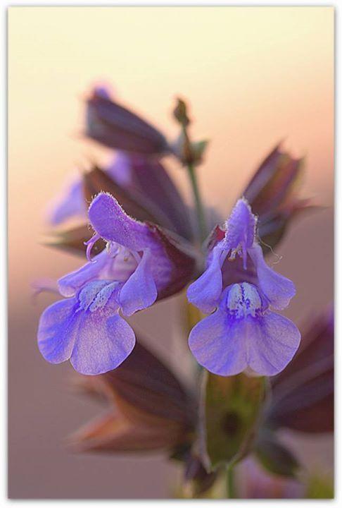 Fiore di salvia