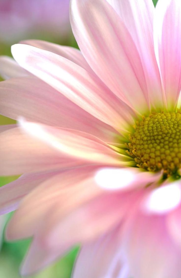 150 best kwiaty margaretki images on pinterest beautiful flowers miss daisy photograph by deb halloran miss daisy fine art prints and posters for sale izmirmasajfo Images