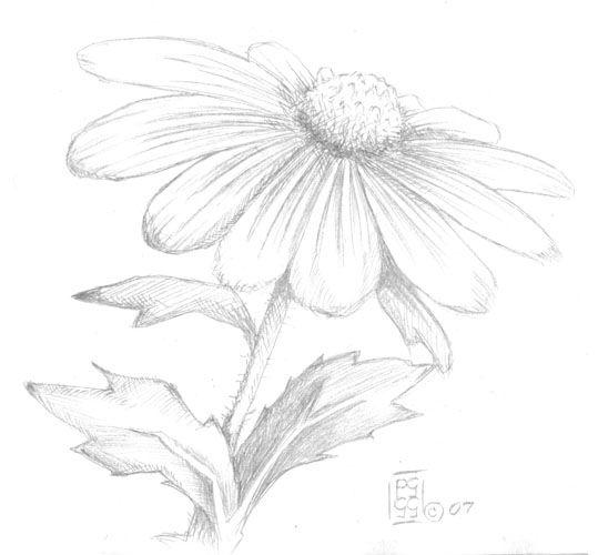 daisy in pencil | Daisies | Pinterest