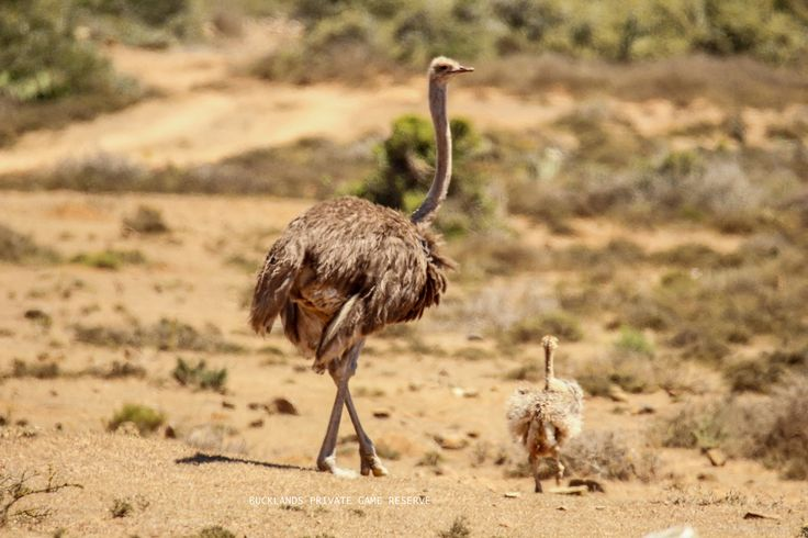 Mommy Ostrich and her recently hatched chick. #photography #birding #ostrich #chick #gamedrives #bucklandsprivategamereserve