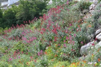 Clearing invasive red valerian in Clovelly.    'Not in my backyard' (NIMBY) is the name of a hack group that is tackling invasives in the Cape Town suburb of Clovelly. They are particularly sensitive about the invasive red valerian (Centranthus ruber), which has 'jumped the garden fence' and is now invading the fringes of the Table Mountain.