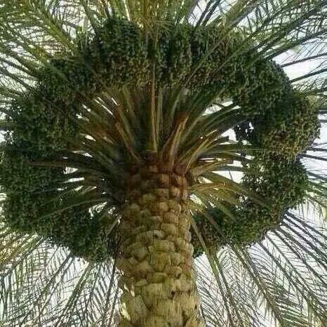 Alhas in saide arbi kingdom