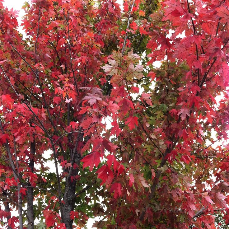 Fall leaves in South Bend, Indiana, USA