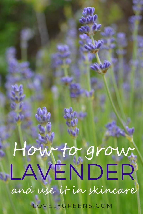 The way to develop English Lavender for Crafts, Pores and skin Care, and the Kitchen