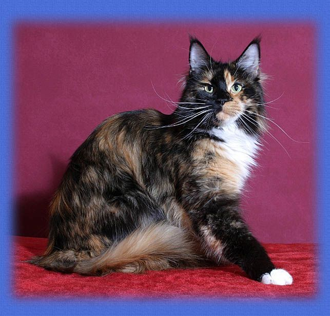 Maine Coon, black torti solid & white (f 09). Chamberlain Black Sky.