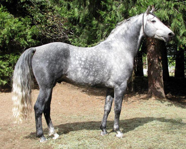 Morgan Colors- Gray Morgan Horses