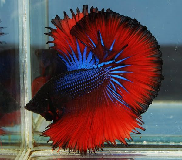 141 best images about betta fish on pinterest copper for Halfmoon betta fish