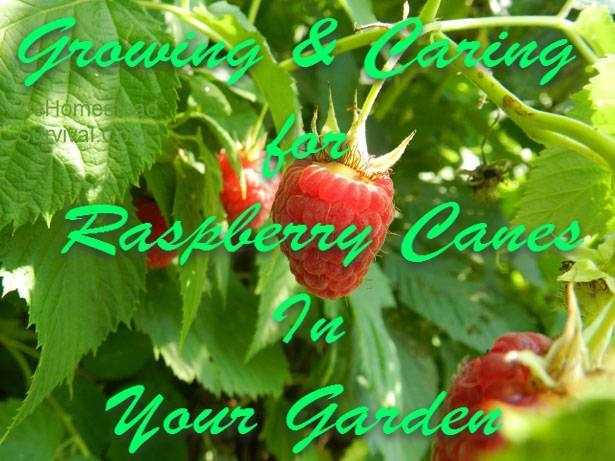 Growing & Caring for Raspberry Canes In Your Garden » The Homestead Survival#.UX6yolfm9A4#.UX6yolfm9A4