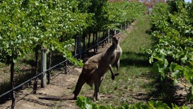 Anna takes a look at the 'New World' and recommends a few wines worth a try... www.rudewinesblog.co.uk/australian-wines-that-need-celebrating/