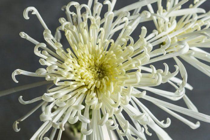Chrysanthemum Elegant Symbolic Flowers For Autumn Bouquets Sunset Mums Flowers Chrysanthemum Flowers