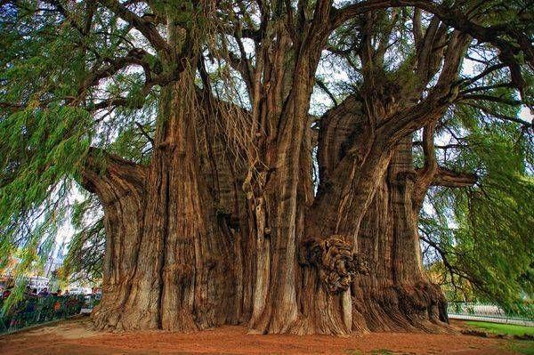 Il cipresso di Montezuma (Taxodium mucronatum) è l'albero più grosso del mondo