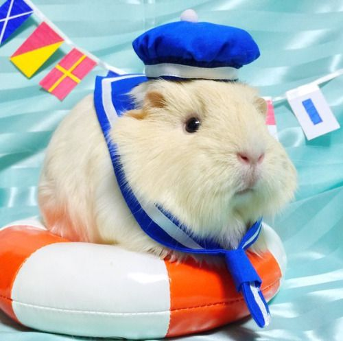 The Daily Guinea Pig Omg its so cute