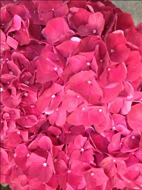 Hydrangea 'Ruby Red'...Sold in bunches of 10 stems from the Flowermonger the wholesale floral home delivery service.
