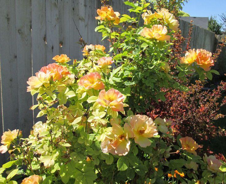 pictures of zone 3 roses | Morden Sunrise Shrub Rose in front of Centerglow Ninebark
