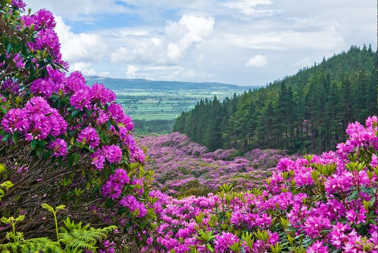 Rhododendrons on the Vee, Tipperary Ierland Pinterest