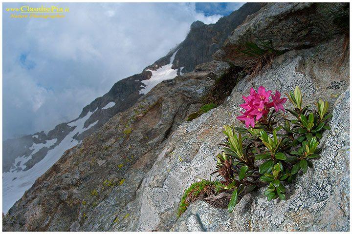 Rhododendron ferrugineum, fiori di montagna, alpini, fotografia, foto, alpine flowers, alpi marittime