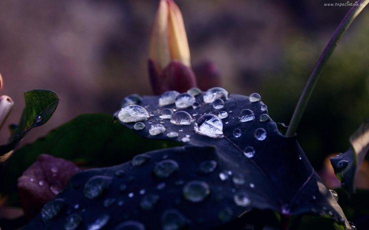 Ciemno, Zielony, Liść, Krople, Wody, Pąk, Kwiatowy