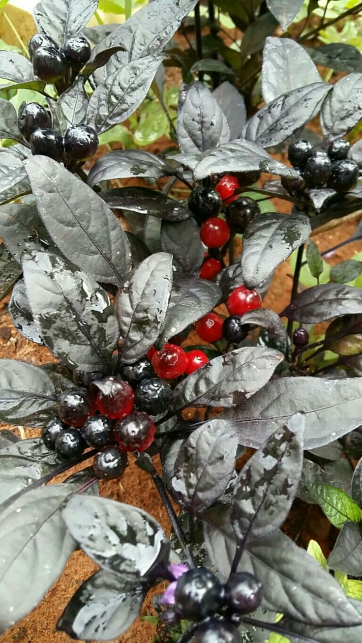 Black Pearl Chillies.  Add awesome colour to any garden.