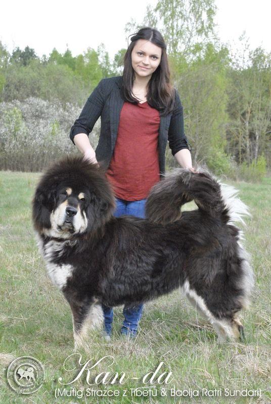Kanda Tibetan Mastiff