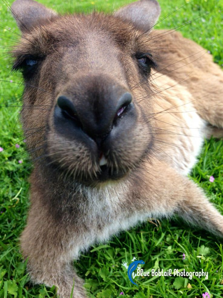 Will you be my #Valentine ?  #kangaroo  #Australia
