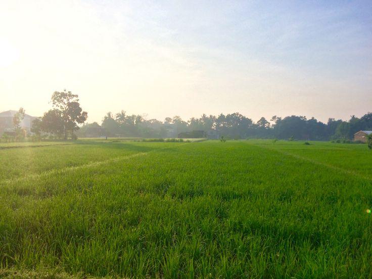 Hijau sawah di pagi hari