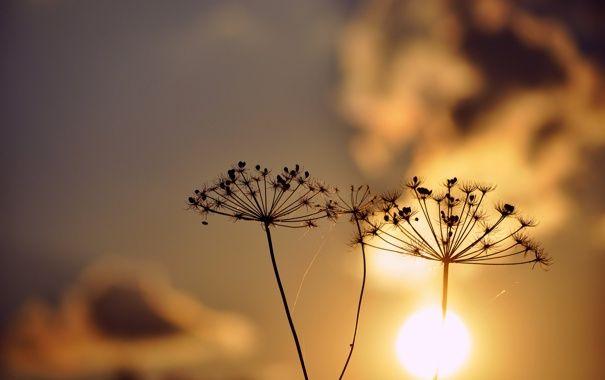 Обои растения, на закате, силуэты, зонтичные картинки на рабочий стол, раздел макро - скачать