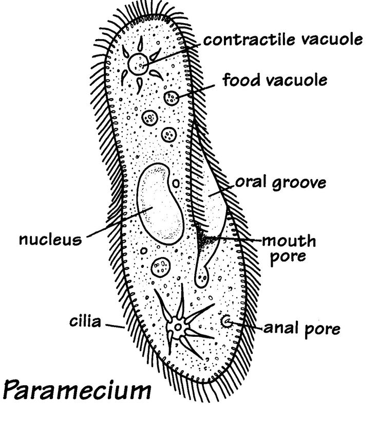 21 best Kingdom Protista images on Pinterest | Cell biology, Life science and Physical science
