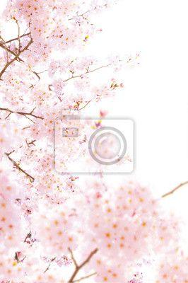 Fototapeta Materiál třešňové květy