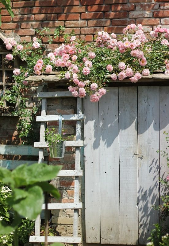 Trailing English Roses are perfect to climb the barn.