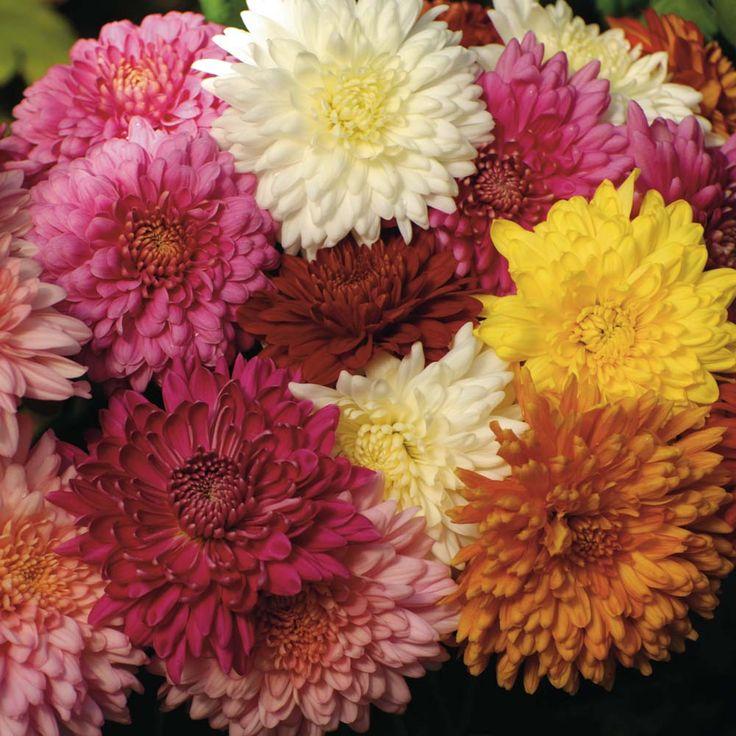 perennial mum varieties Flowers Flower Plants Perennial