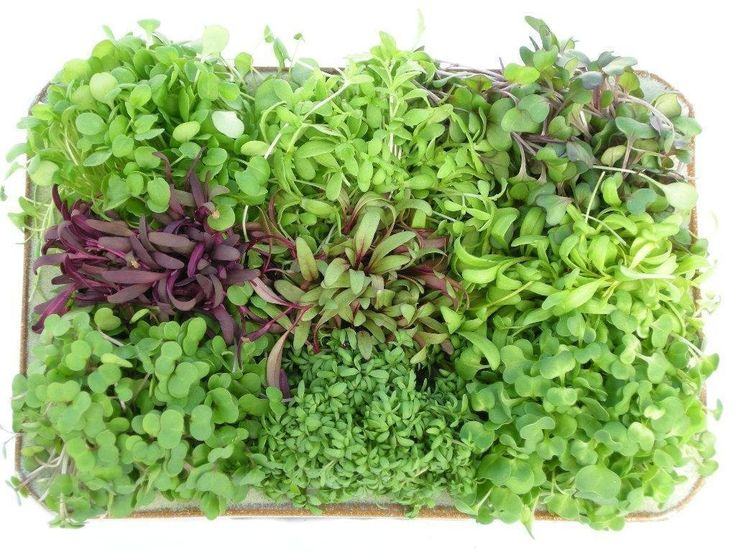 Microgreens are an option for the urban farmer who wants