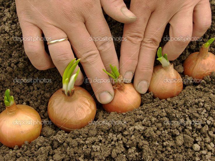 Plantando bulbo da cebola