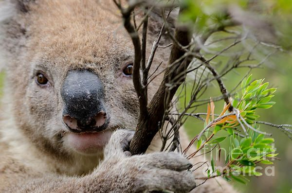 Koala. The Great Ocean Road, Victoria, Australia.   Fine Art Photography   http://rob-huntley.artistwebsites.com   © Rob Huntley
